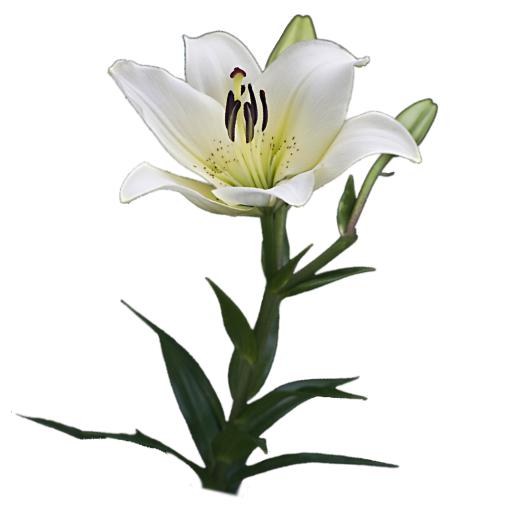 weisse-lilien