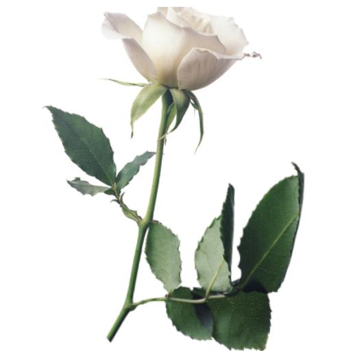 weisse-rosen